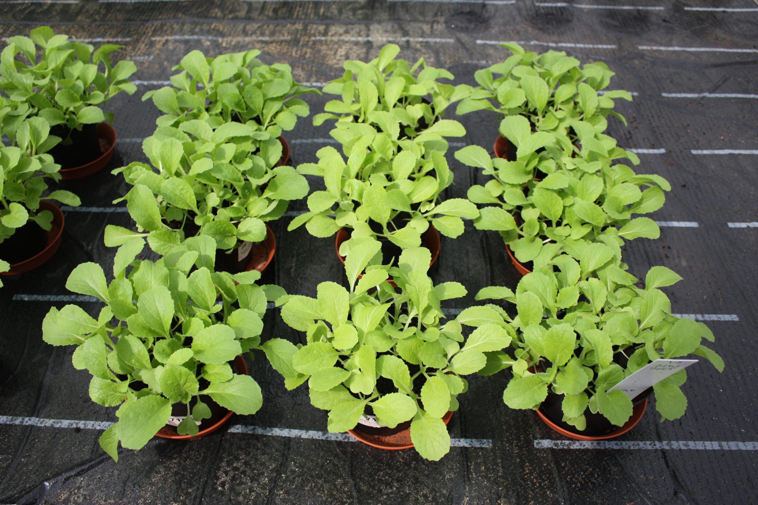 Keimpflanzentest - RAL Gütezeichen Substrate für Pflanzen